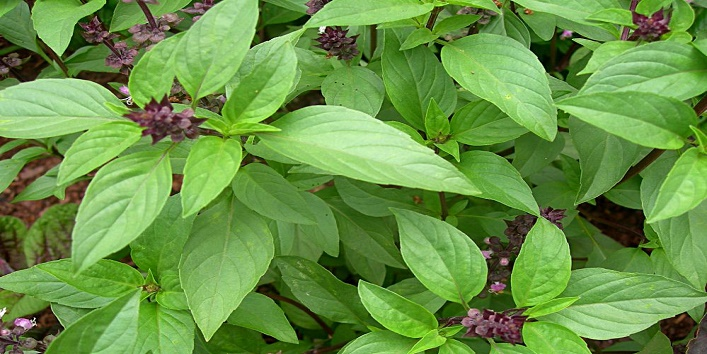 Basil leaves and honey